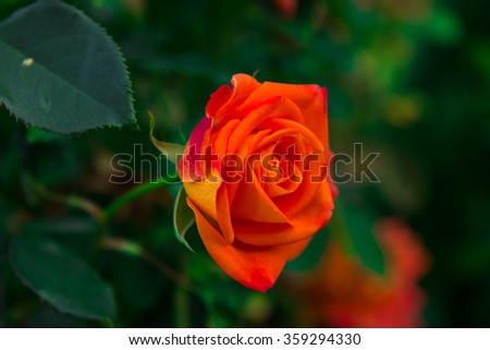 A one orange rose in the garden