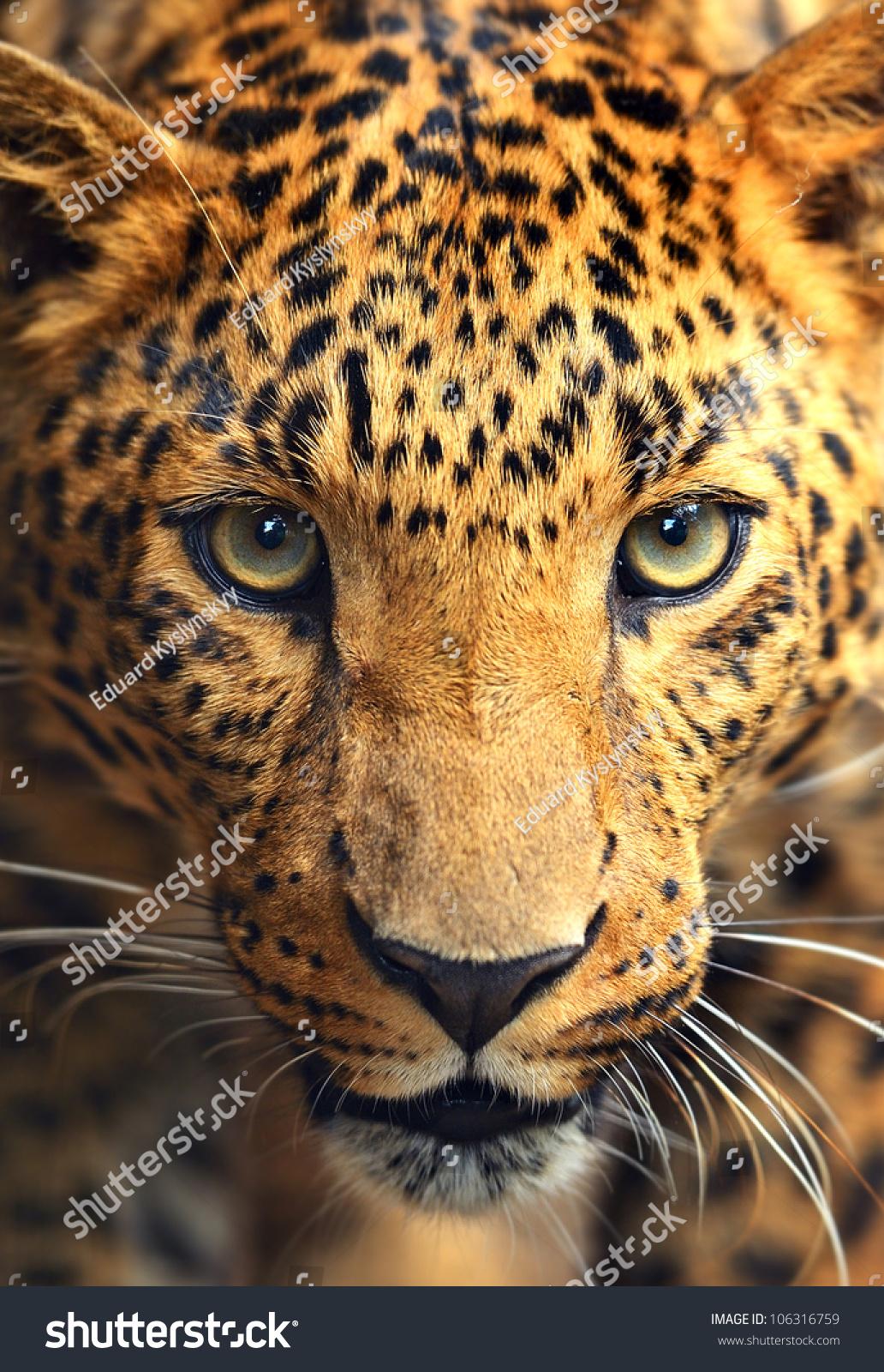 豹 豹子 壁纸 动物 虎 老虎 桌面 1032_1600 竖版 竖屏 手机