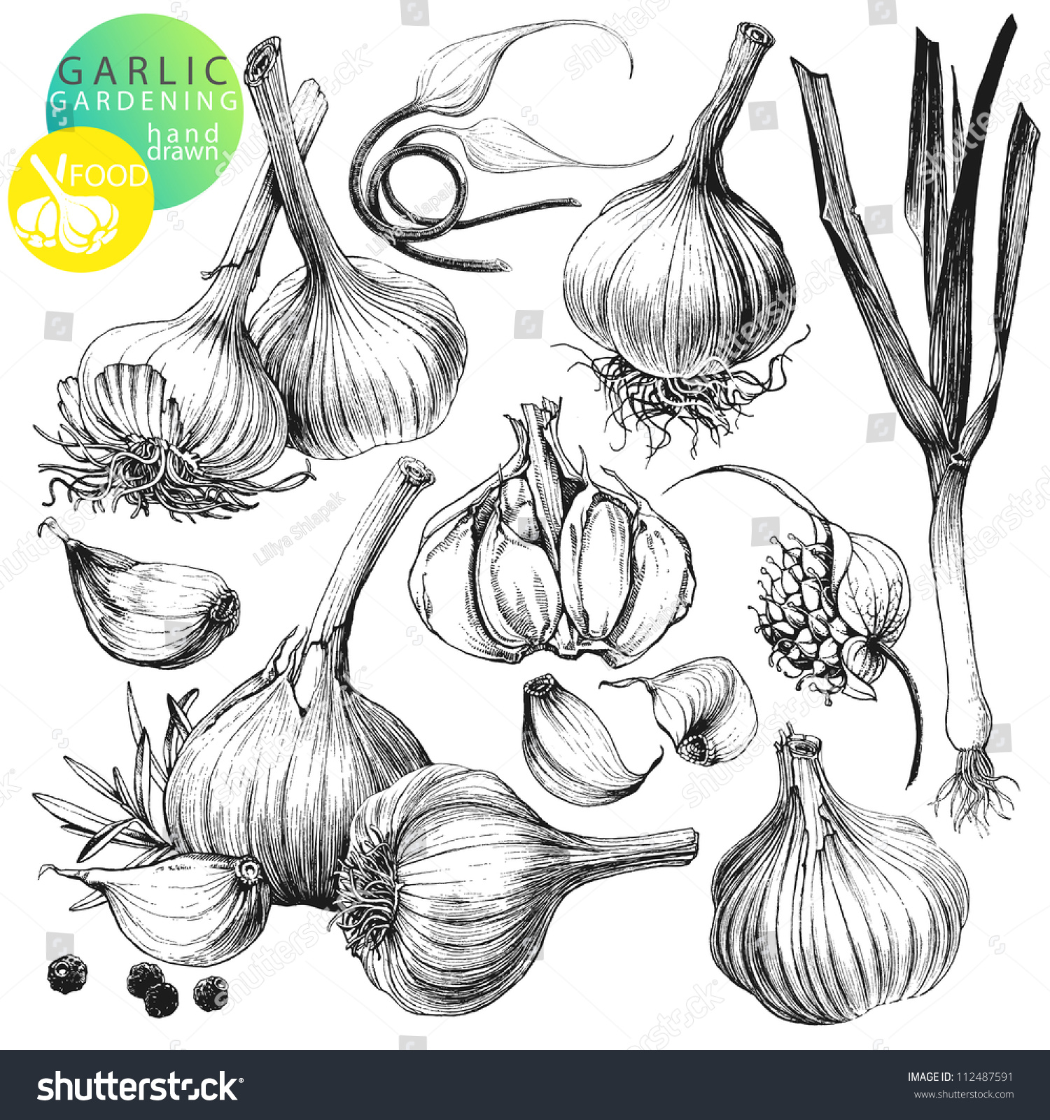 收藏的手绘插图与大蒜的孤立在白色背景
