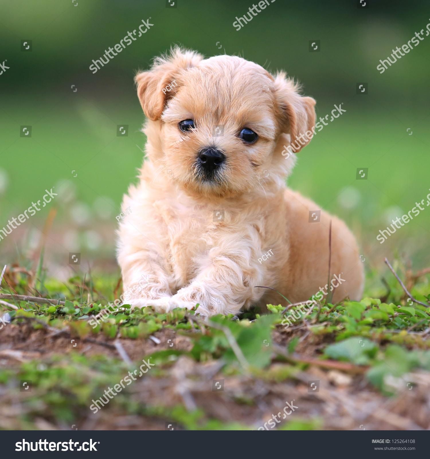 可爱的贵宾犬-动物/野生生物