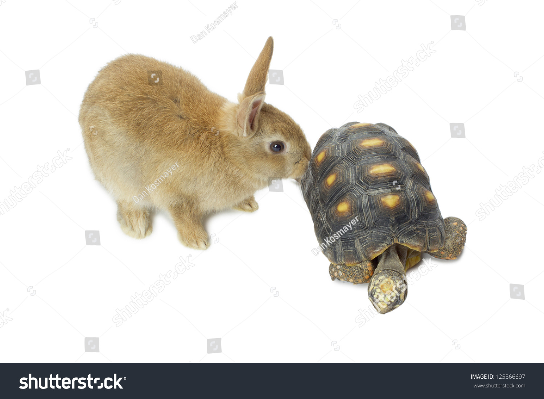 可爱的兔子和乌龟在白色背景中分离-动物/野生生物-()