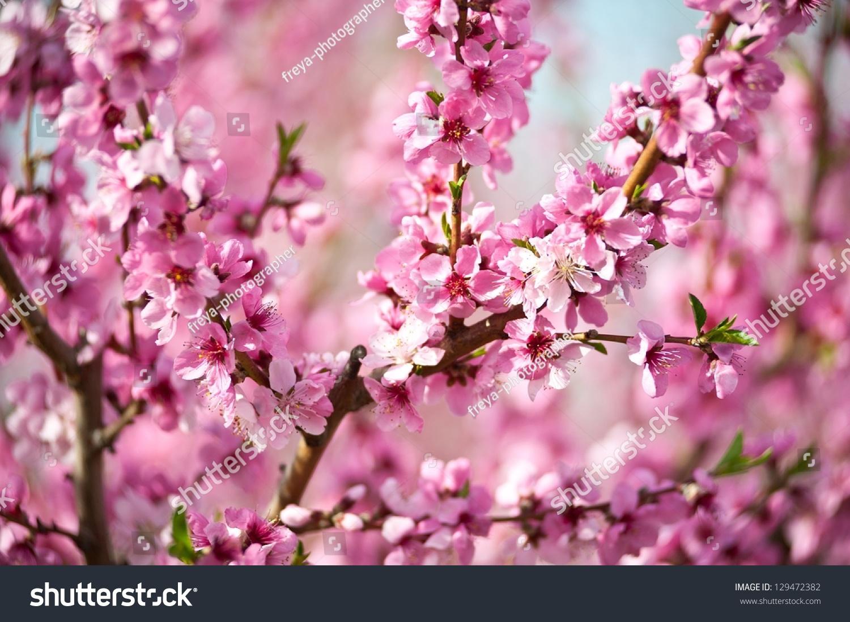 和粉红色的花朵在春天盛开的树-自然,公园/户外-海洛