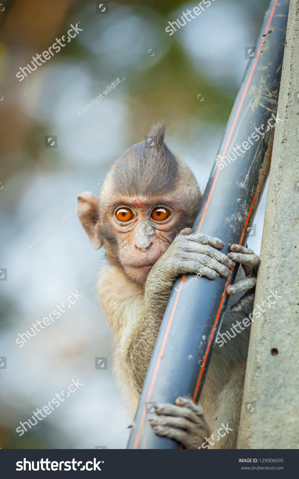 可爱的猴子(长尾猕猴)甜蜜的眼睛-动物/野生生物