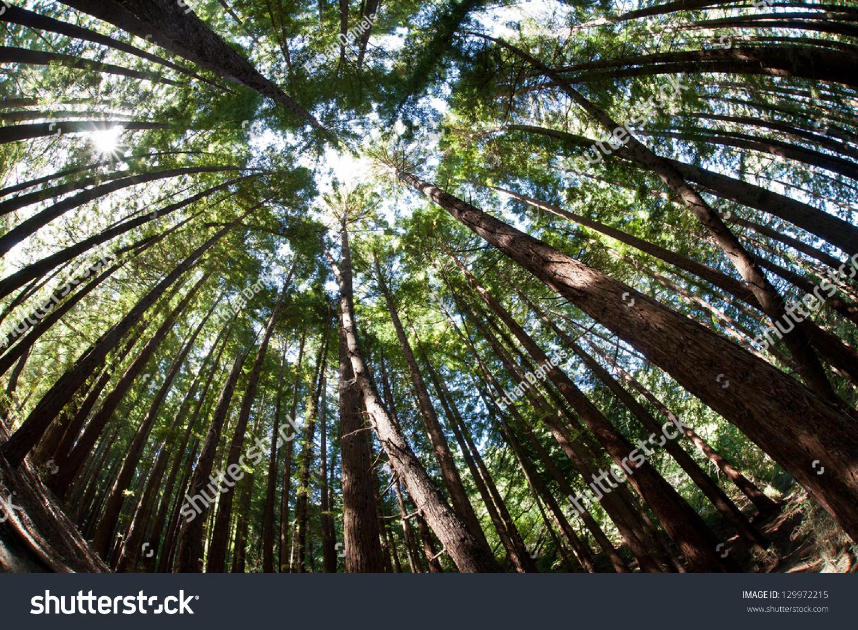 第二个增长红木树生长在一个受保护的树林在伯克利