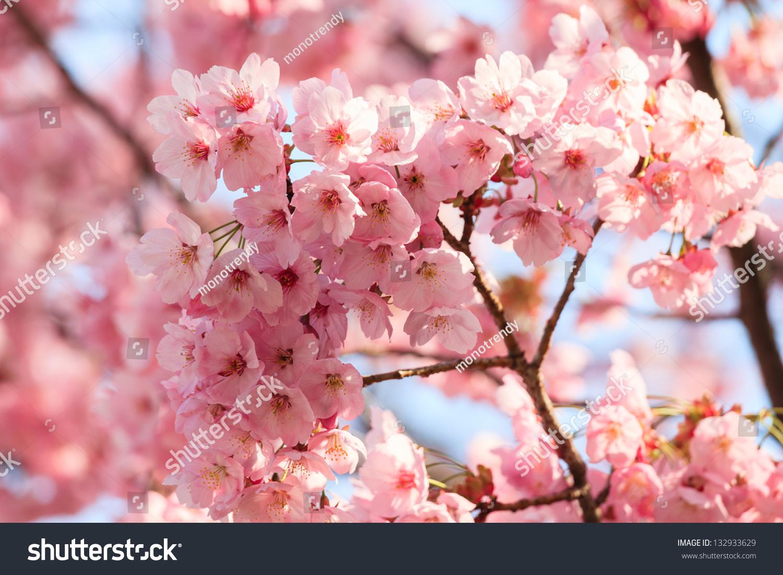 樱花盛开的