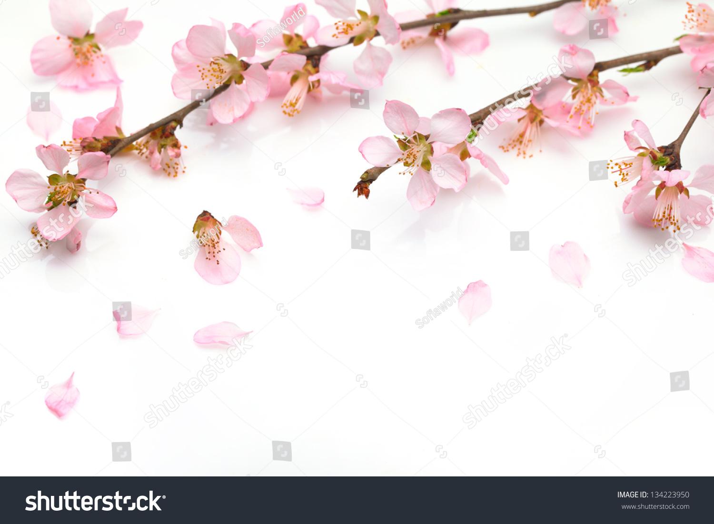 樱花孤立在白色背景
