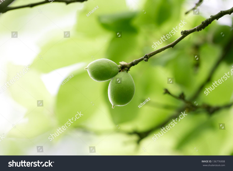绿色未成熟的杏子树