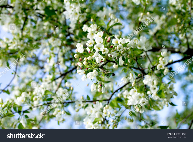 苹果树的白色花朵,春天-自然,公园/户外-海洛创意()-.