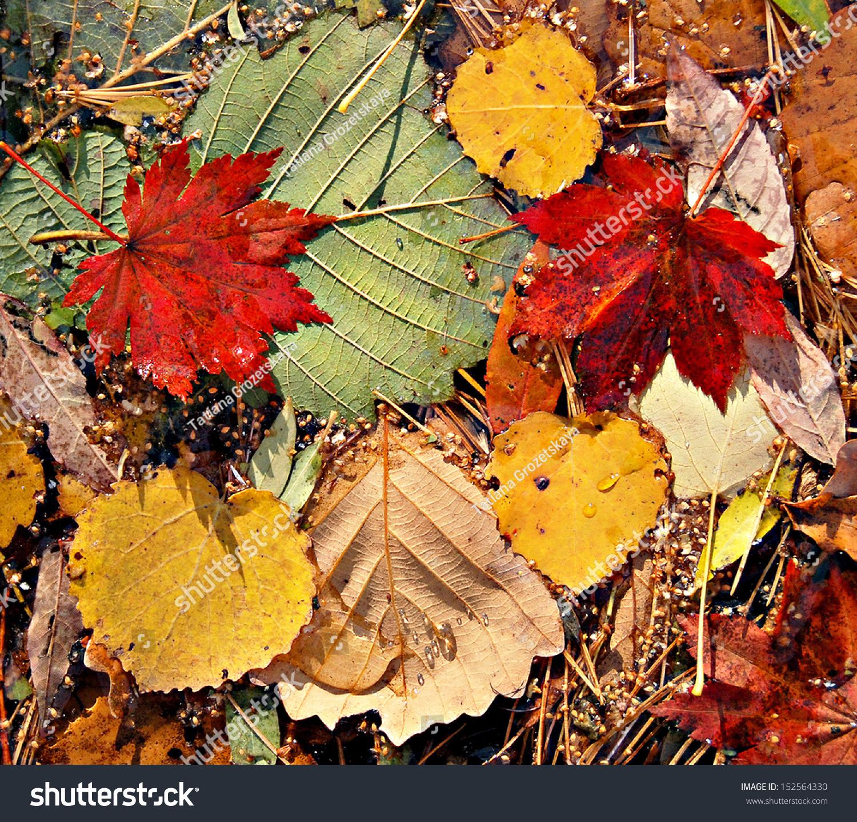 秋天的颜色的树叶,枫树叶-背景/素材,自然-海洛创意()