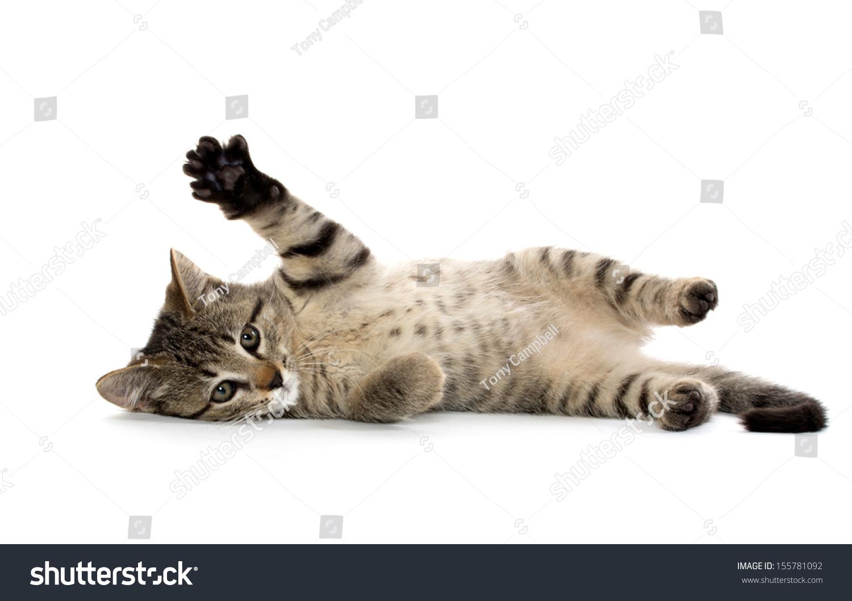 可爱的宝宝美国虎斑短发小猫在白色背景上