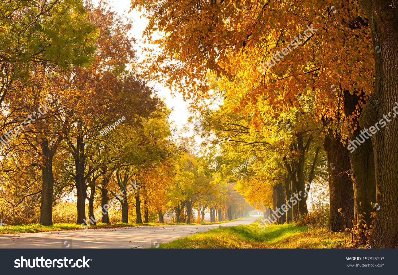 秋天乡村景观与乡村公路和黄金树——阳光美好的一天图片