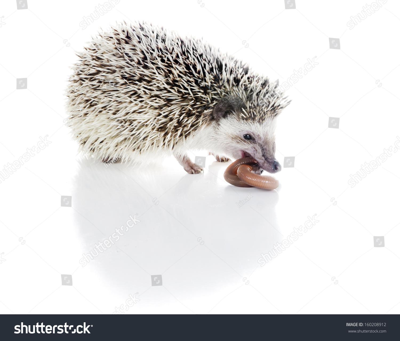 非洲刺猬吃蚯蚓-动物/野生生物-海洛创意(hellorf)