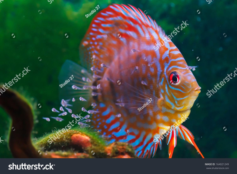七彩鱼是原产于亚马逊河.-动物/野生
