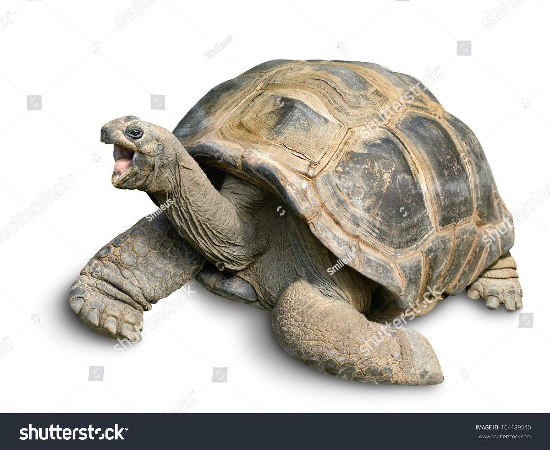 动物的画像一个美丽的巨型乌龟看起来有趣和愉快的,在