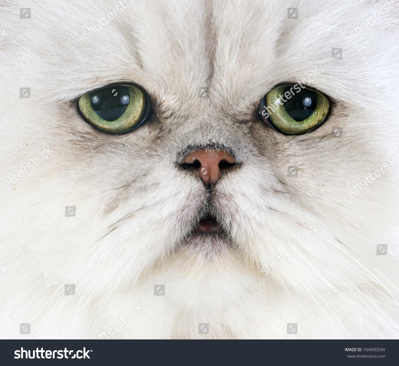 波斯猫在白色背景的前面-动物/野生生物-海洛创意