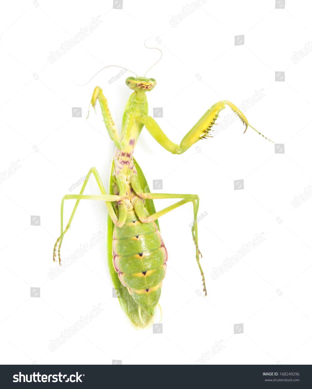 绿色的螳螂在白色背景上-动物/野生生物