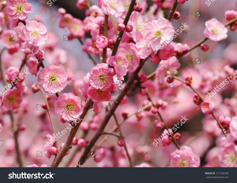 盛开的粉色的梅花-公园/户外-海洛创意(hellorf)-中国图片