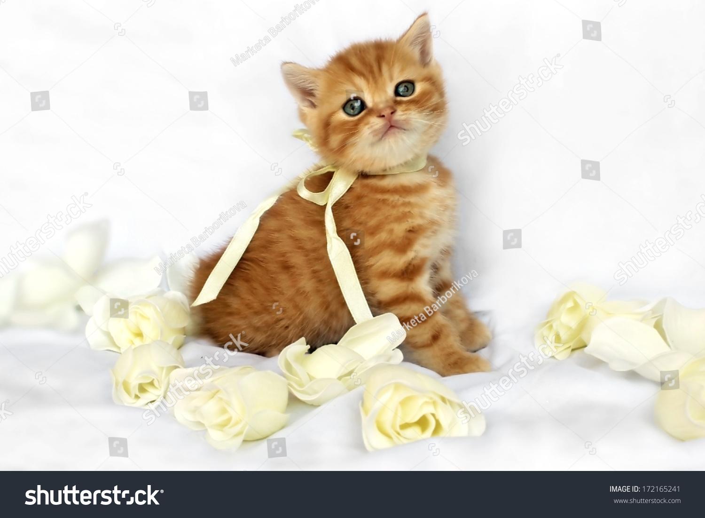 soap霜玫瑰和红色的英国小猫丝带-动物/野生生物