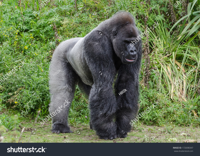 银背大猩猩-动物/野生生物