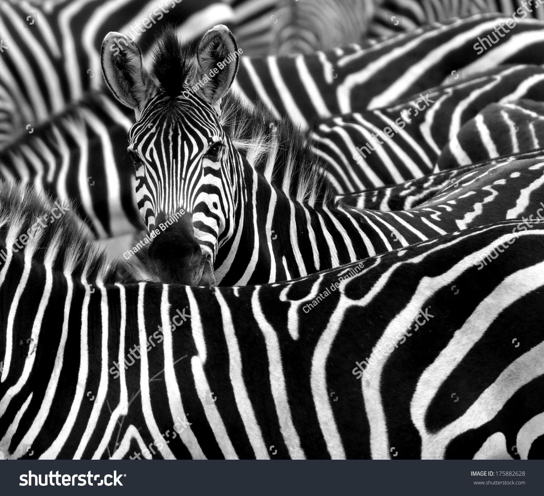 关闭从黑白条纹的斑马包围他的羊群-动物/野生生物