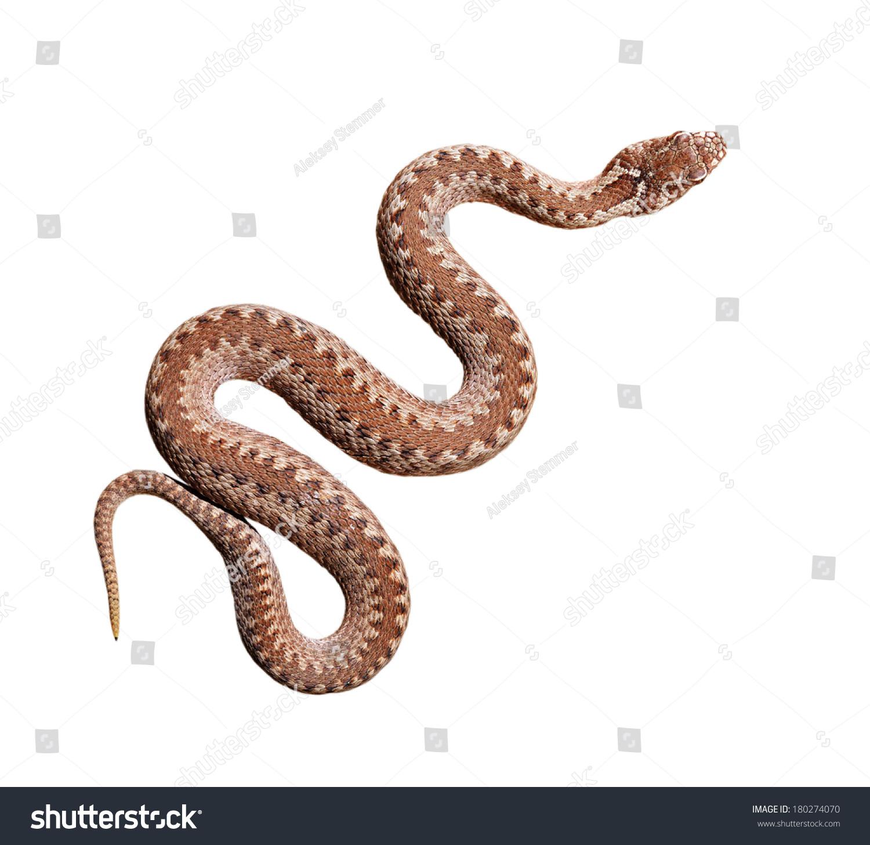 常见的毒蛇蛇孤立在白色的-动物/野生生物