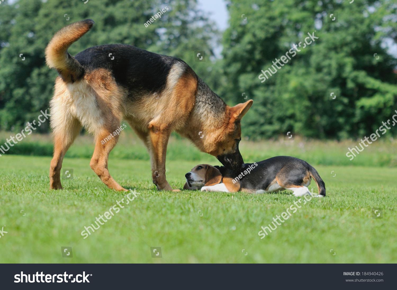 德国牧羊犬与小猎犬小狗身体说话-动物/野生生物,自然