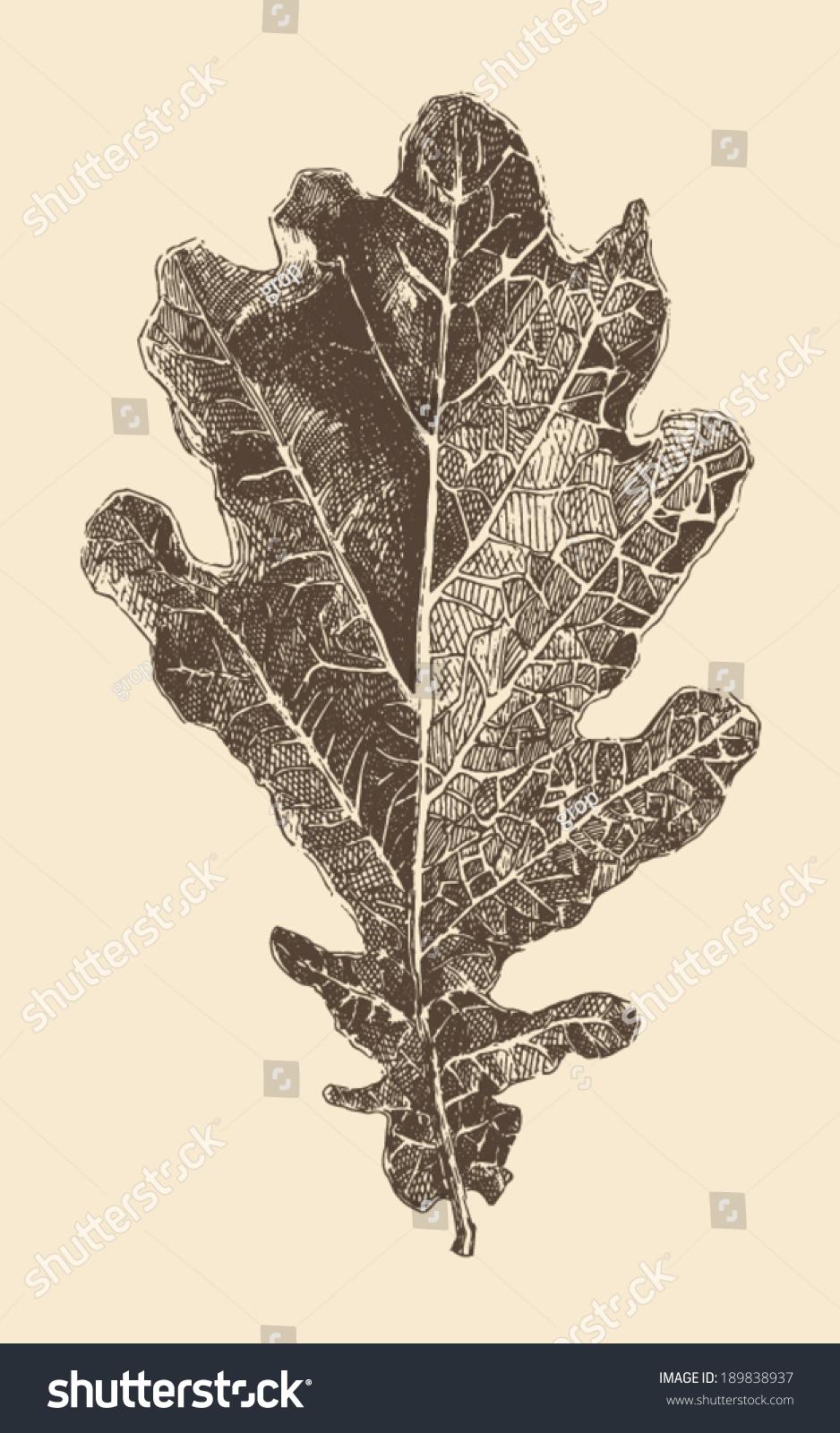 橡树叶子雕刻风格,复古插画手绘-自然,其它-海洛创意