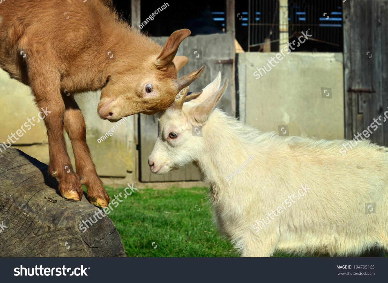 两只小山羊在农场玩头打架-动物/野生生物-海洛创意
