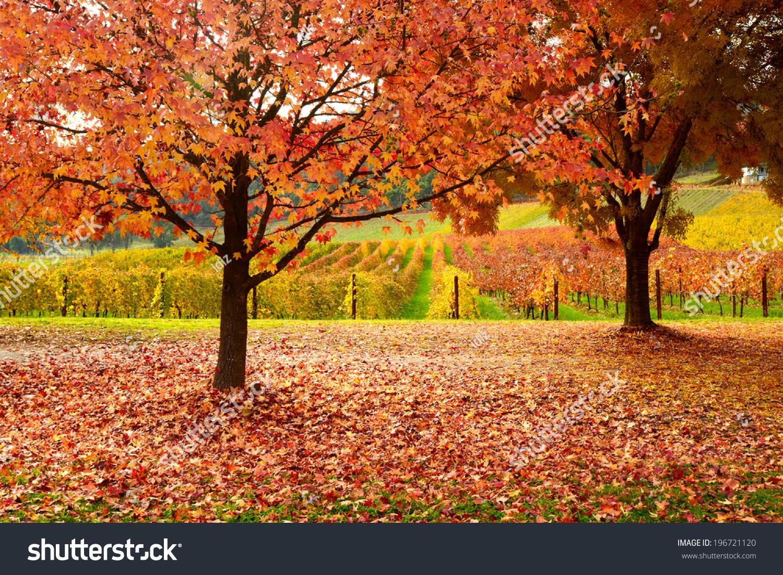 手机壁纸秋天枫叶杯子风景