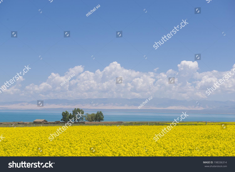 东亚,西北地区,青海省,青海湖中文,油菜花的繁茂-自然