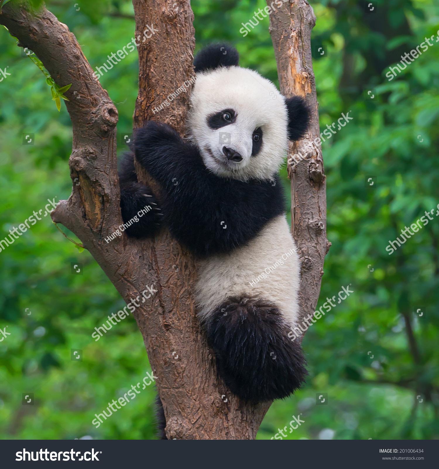 可爱的熊猫在树-动物/野生生物