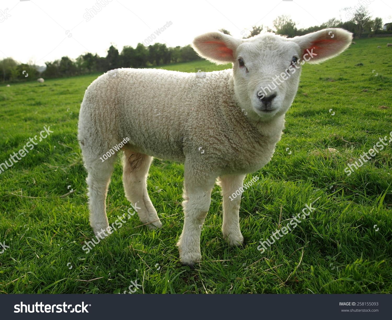 微信动物羊头像