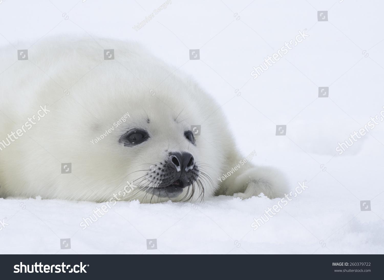 格陵兰海豹幼崽-动物/野生生物,自然-海洛创意()-中国