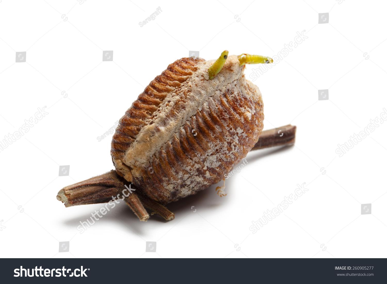 新出生的木螳螂,在白色背景的蛋盒-动物/野生生物-()