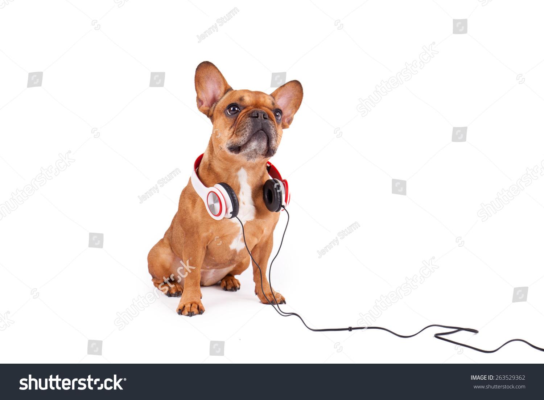 棕色的法国斗牛犬与耳机孤立在白色背景-动物/野生