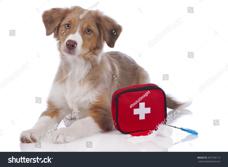 澳大利亚牧羊犬与急救箱孤立的小狗-动物/野生生物