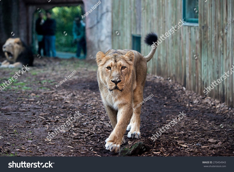 在动物园里有一只狮子来了
