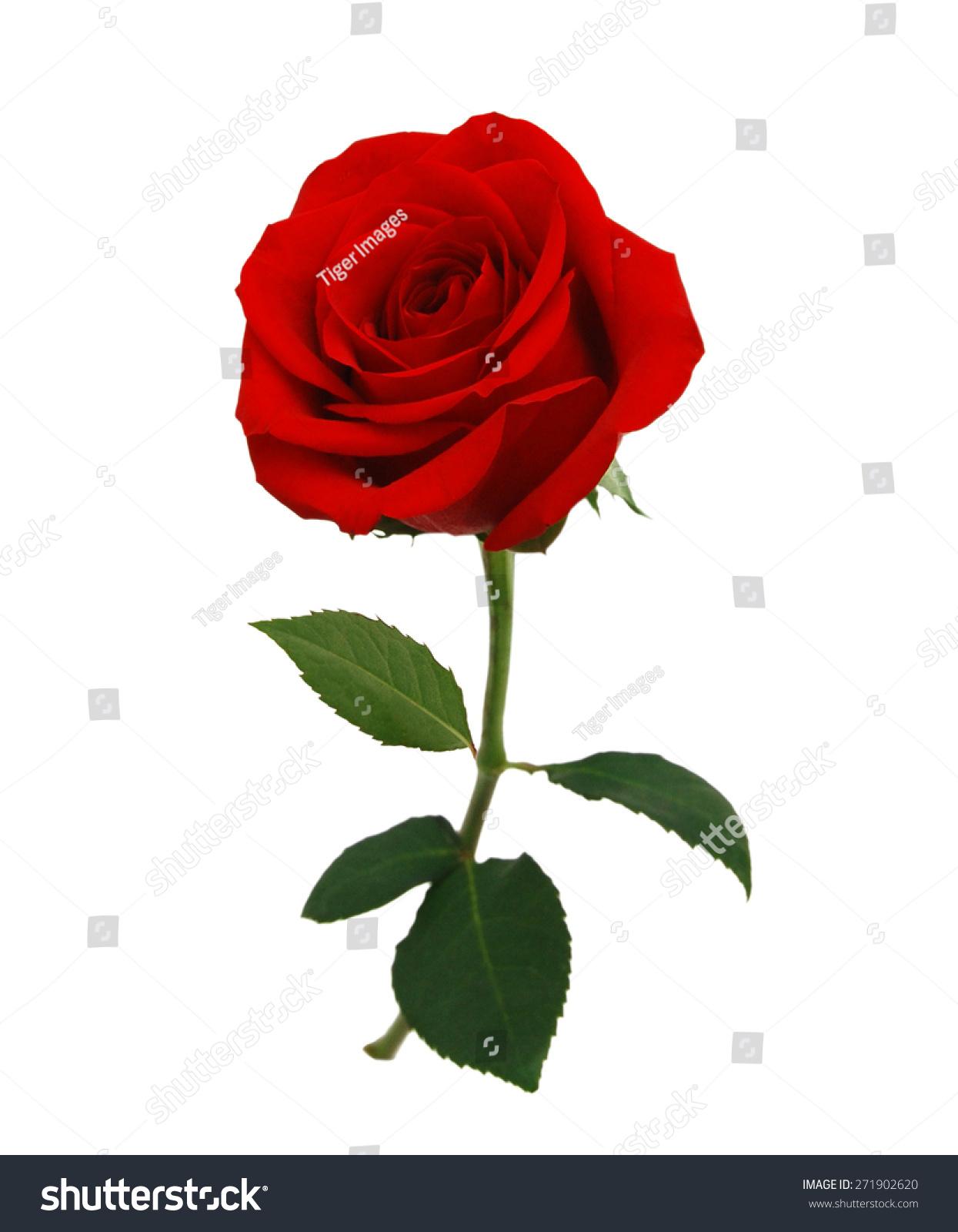 红玫瑰孤立在白色背景-背景/素材,自然-海洛创意()-合
