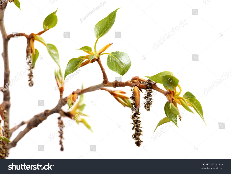 杨树的分支.新的春天树枝与树叶孤立在白色背景.-物体