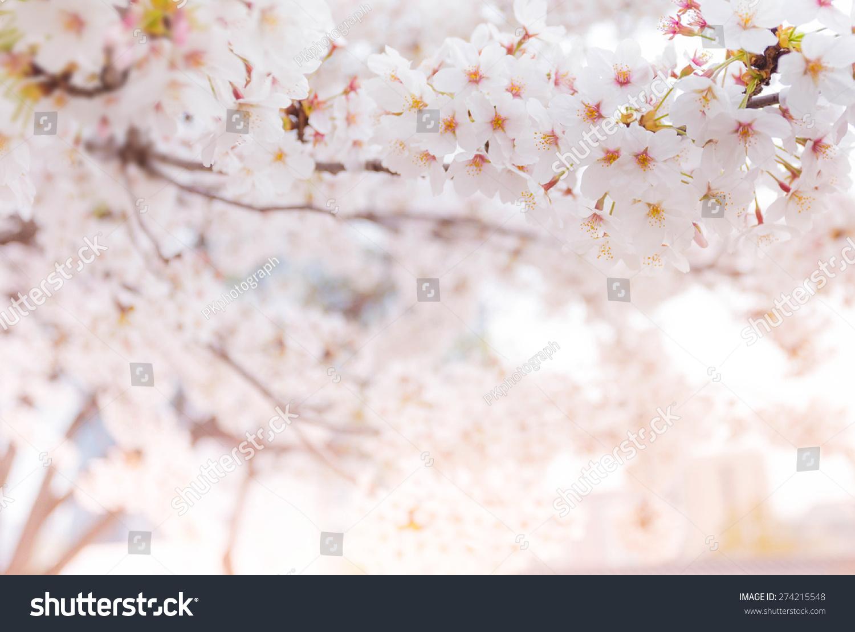 在春天樱花软焦点,背景-背景/素材