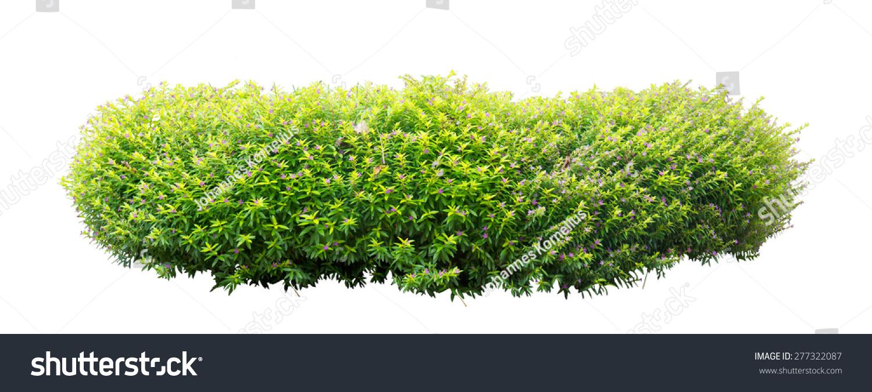 灌木孤立在白色背景上