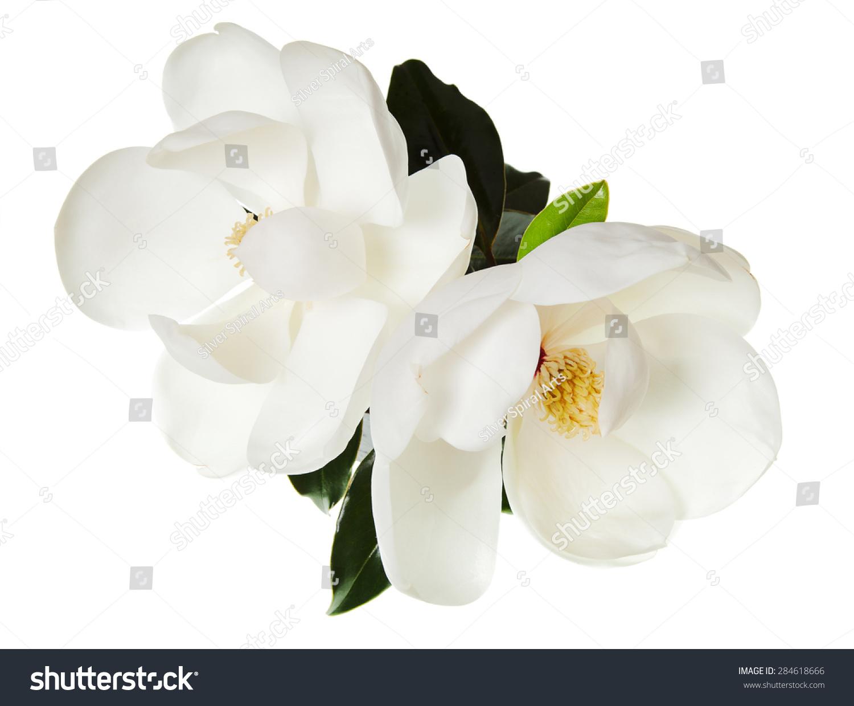 木兰花白色木兰花香的花-物体-海洛创意(hellorf)