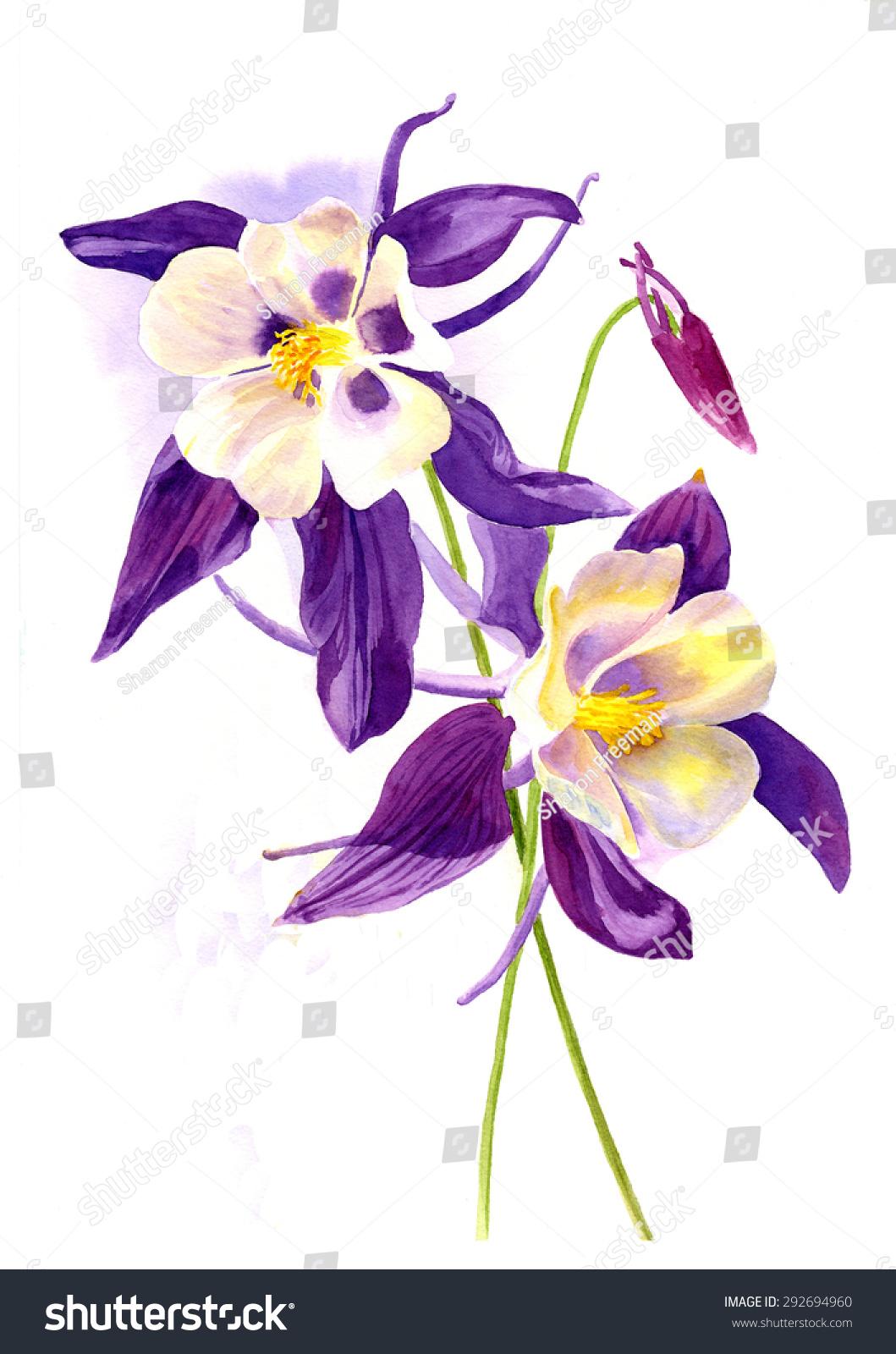 两个紫色耧斗菜的花.水彩画,手绘,插画风格的白色背景