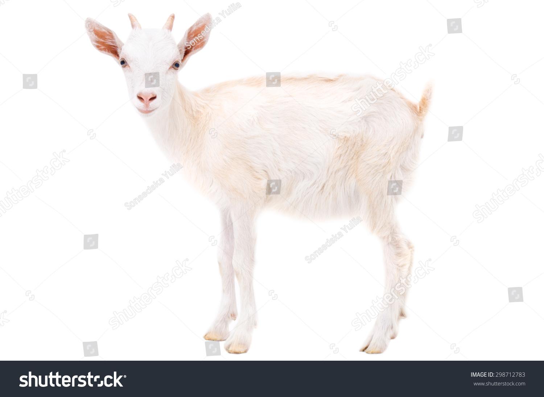 白山羊白底-动物/野生生物,其它-海洛创意(hellorf)-.