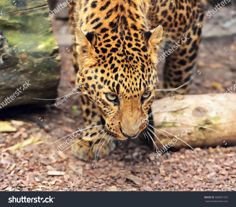 在非洲热带稀树草原的野生豹-动物/野生生物