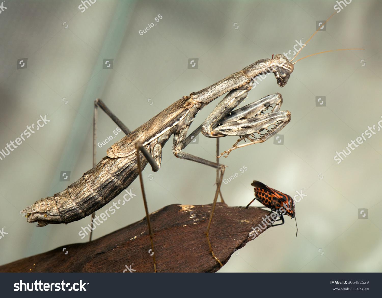 螳螂-动物/野生生物,自然-海洛创意(hellorf)-中国
