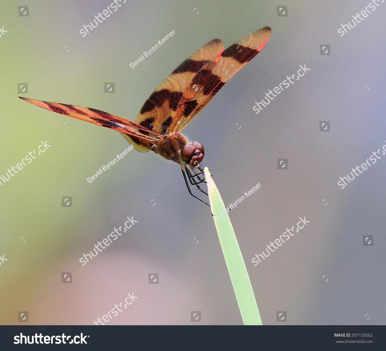 万圣节彭南特蜻蜓-动物/野生生物,公园/户外-海洛创意