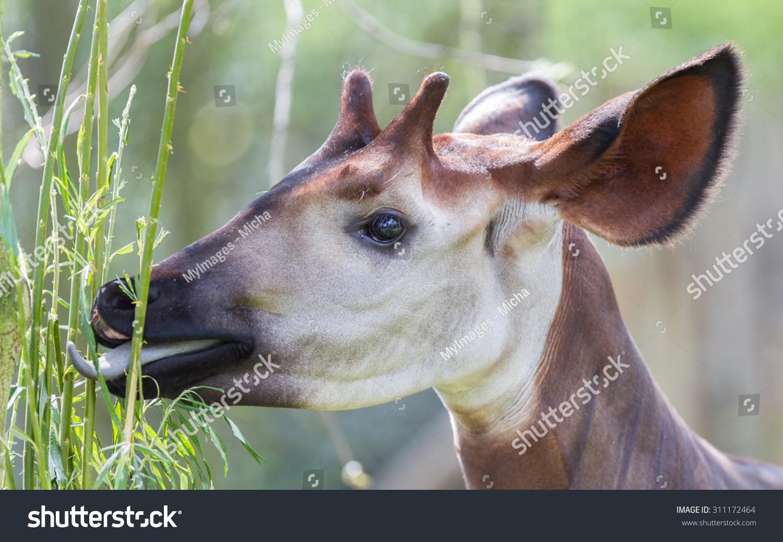霍加皮吃的特写镜头,自然栖息地-动物/野生生物-海洛