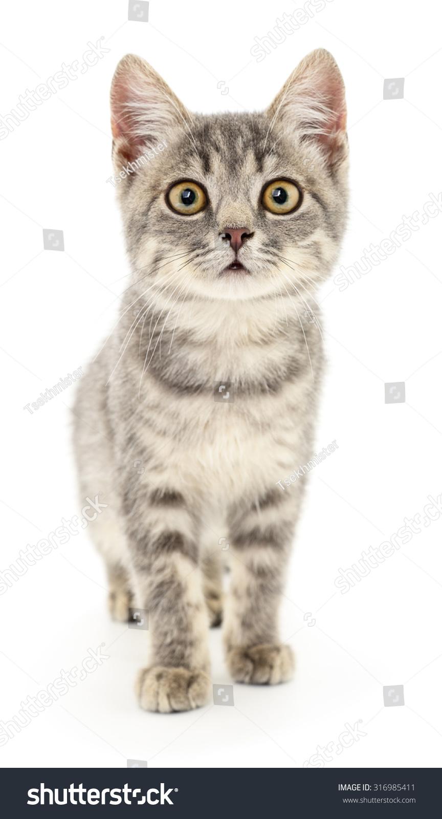 小的白色背景上的灰色的小猫-动物/野生生物,自然-()