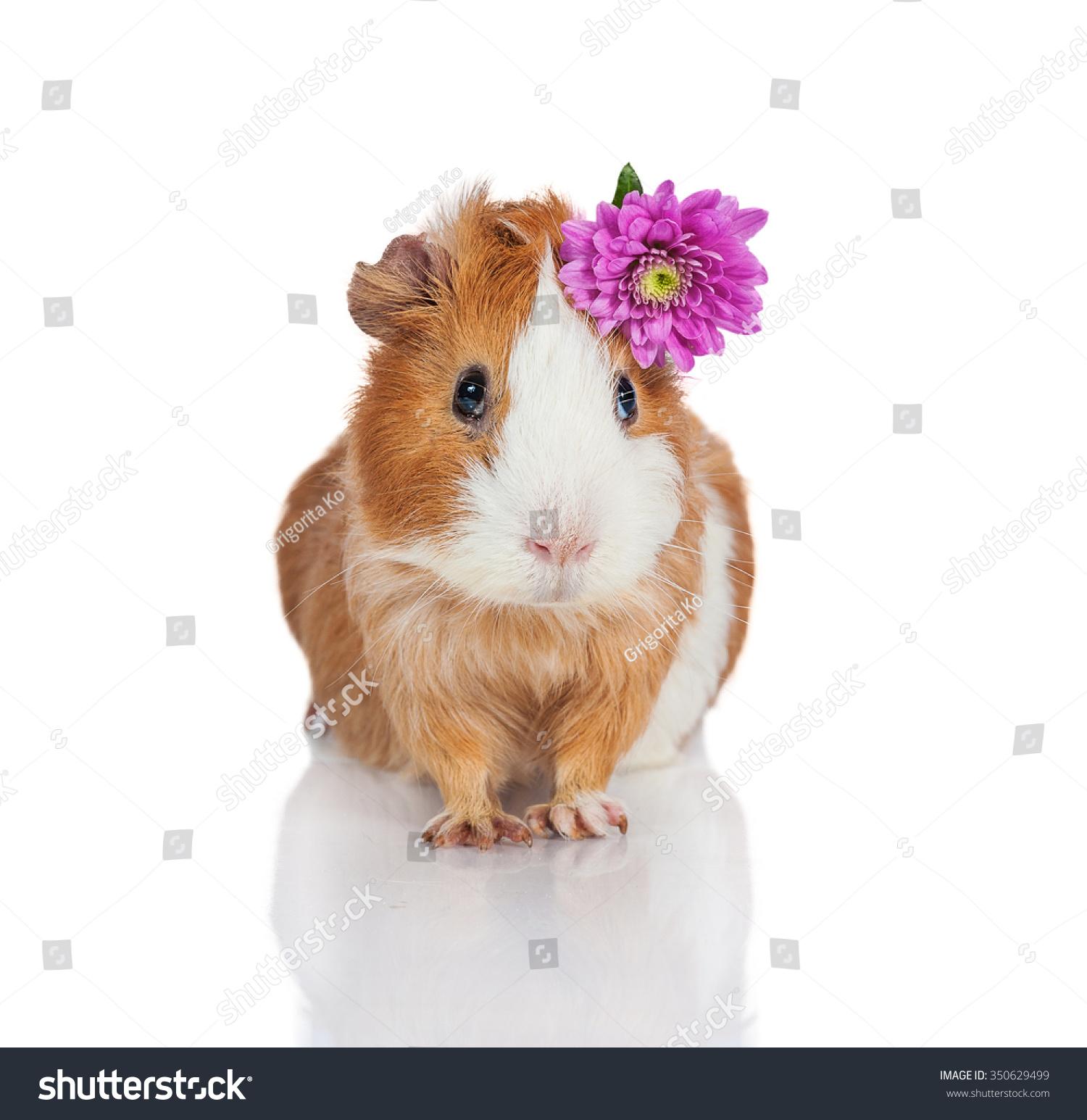 可爱的豚鼠和一朵花-动物/野生生物